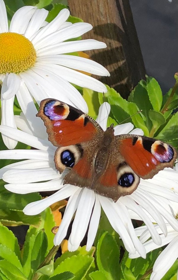 Peacock Butterfly thumbnail