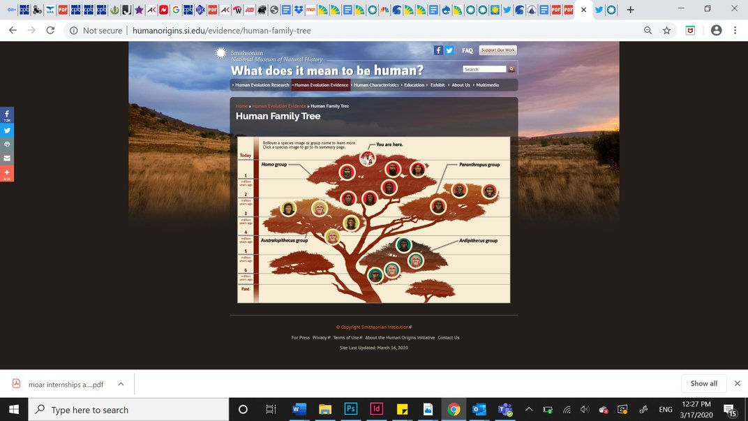 Screenshot of the human evolutionary tree of life in white and maroon on the Smithsonian's Human Origins website..