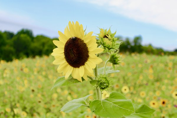 Sunflower and the Bee thumbnail