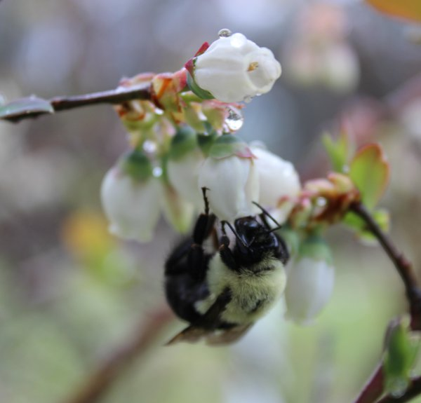 Bees & Blueberry Blossoms thumbnail