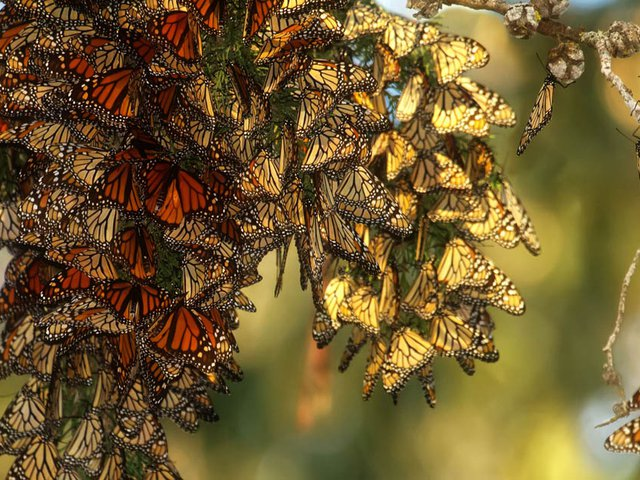 A cluster of western monarch butterflies clings to a branch as itoverwinters in California.