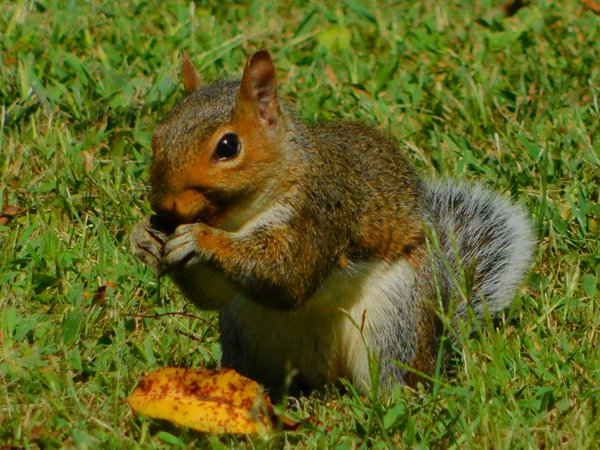 Squirrel Eating Sunflower Seeds thumbnail