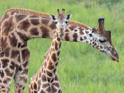 Rothschild's giraffes typically have five nubby horns, or ossicones, instead of the usual two.