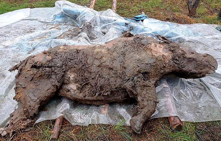 Horizontal image of the woolly rhino's full body
