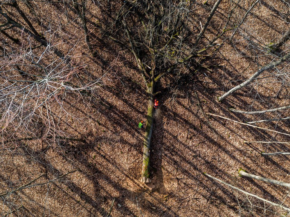 An aerial view of a tall tree, just felled, which lies on its side in the middle of a forest