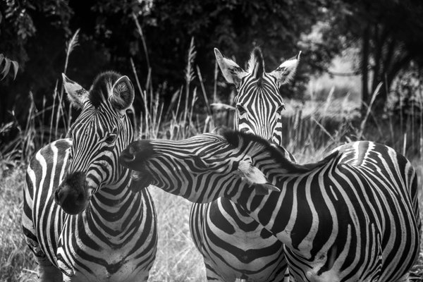 Zebras at Shai Hills Nature Reserve, Greater Accra, Ghana thumbnail