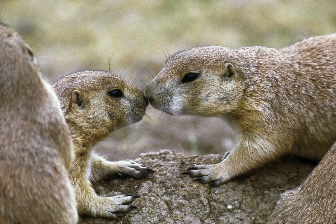 Black-tailed prairie dogs lean in for a kiss. Photo: Jim Brandenburg/Minden Pictures/Corbis