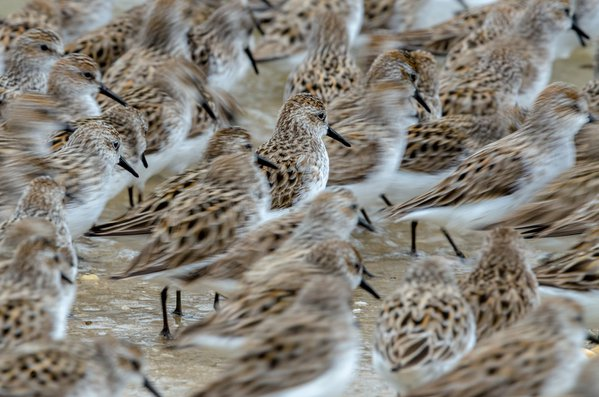 Semipalmated Sandpiper standing in chaos thumbnail