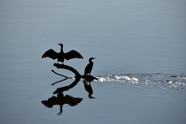 Two cormorants on the river at sunrise thumbnail