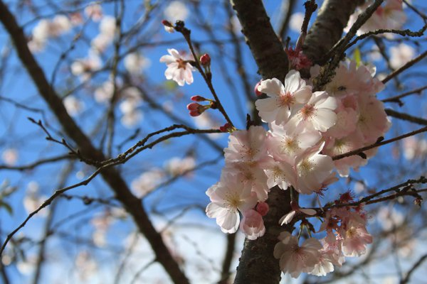 Blooming cherry tree thumbnail