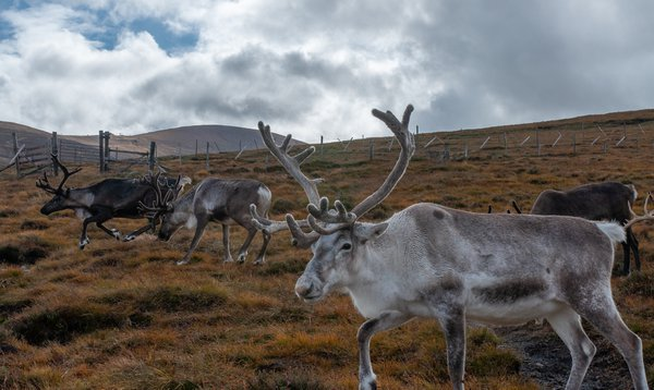 Reindeer in Scotland thumbnail