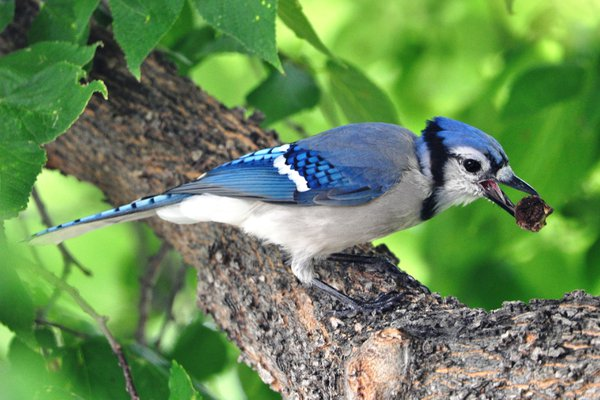 Blue Jay found a snack! thumbnail