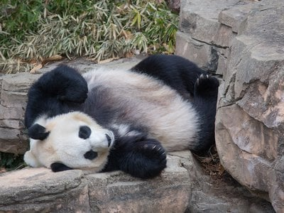 The National Zoo's female panda Mei Xiang (above in 2019) is exhibiting signs of a possible pregnancy. These same behaviors could also mean she is experiencing a pseudopregnancy.