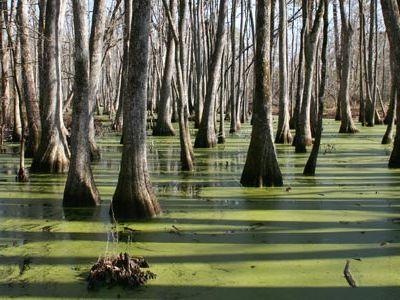 Cypress swamps along Natchez Trace