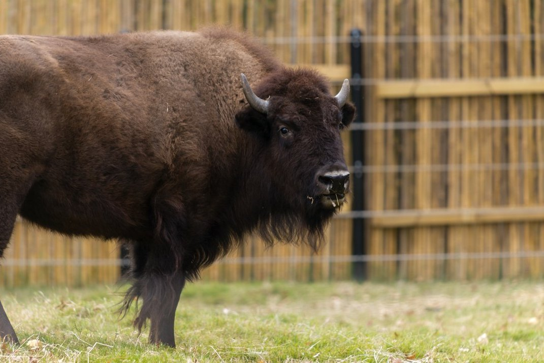 Bison grazing in a fenced pasture.