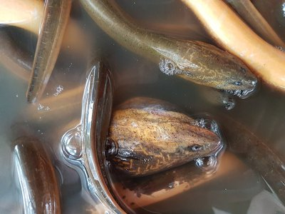 Last month in Brooklyn, a man dumped two bags full of eels into Prospect Park Lake. They're thought to be Asian swamp eels, seen here.