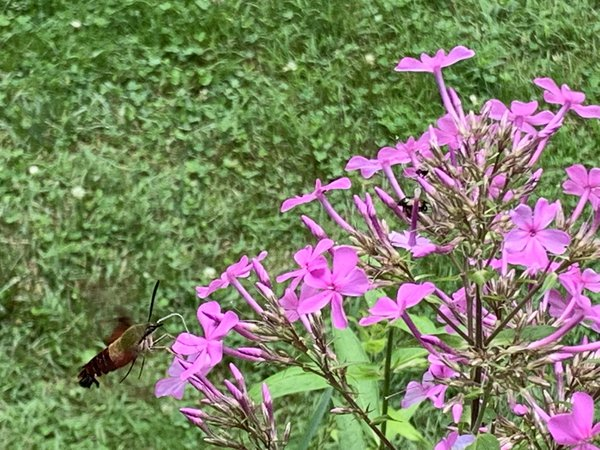 Clear wing Hummingbird moth out for lunch thumbnail