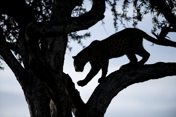 Early morning leopard thumbnail