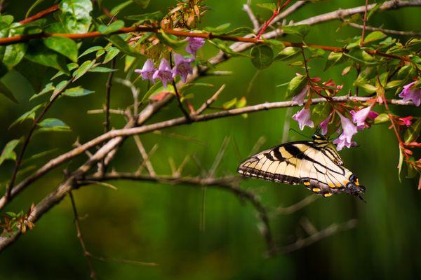 Tiger Swallowtail thumbnail
