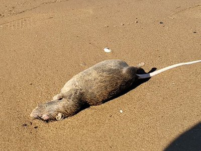 Adozen rat carcasses with upturned bellies were found littered along the sand in Brooklyn's Canarsie Park.