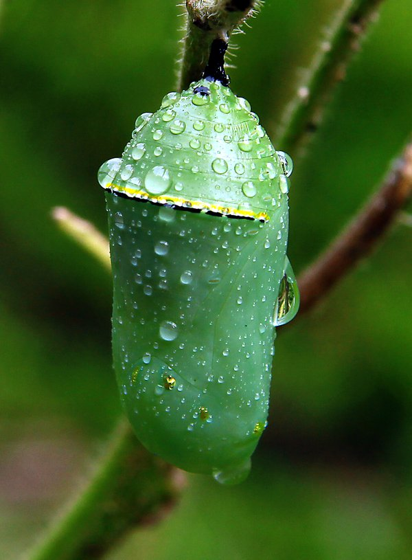 Monarch Chrysalis after morning rain thumbnail