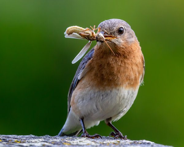 A female Eastern Bluebird with a grasshopper for her young. thumbnail