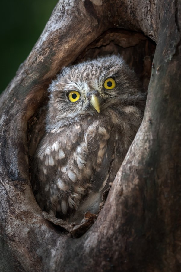 The young Little Owl thumbnail