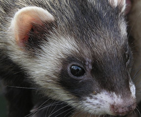Ferrets react to flu much like humans do.