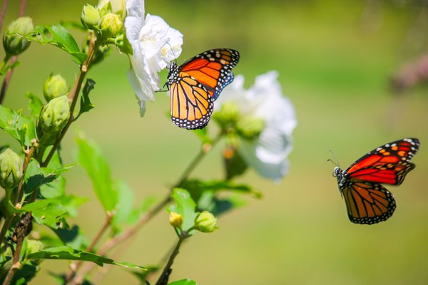 Two Monarch Buttterflies thumbnail