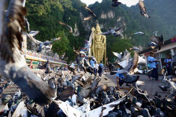 Pigeons of Batu Caves thumbnail