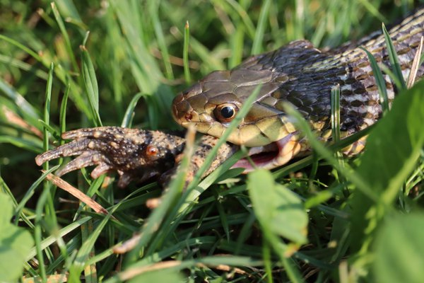 A snake enjoying a toad dinner thumbnail