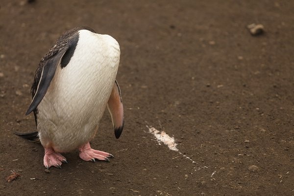 A different chinstrap penguin thumbnail