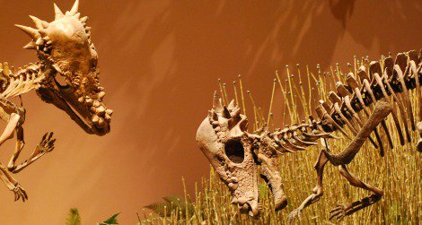 A pair of Pachycephalosaurus face off at the Museum of Ancient Life in Utah.