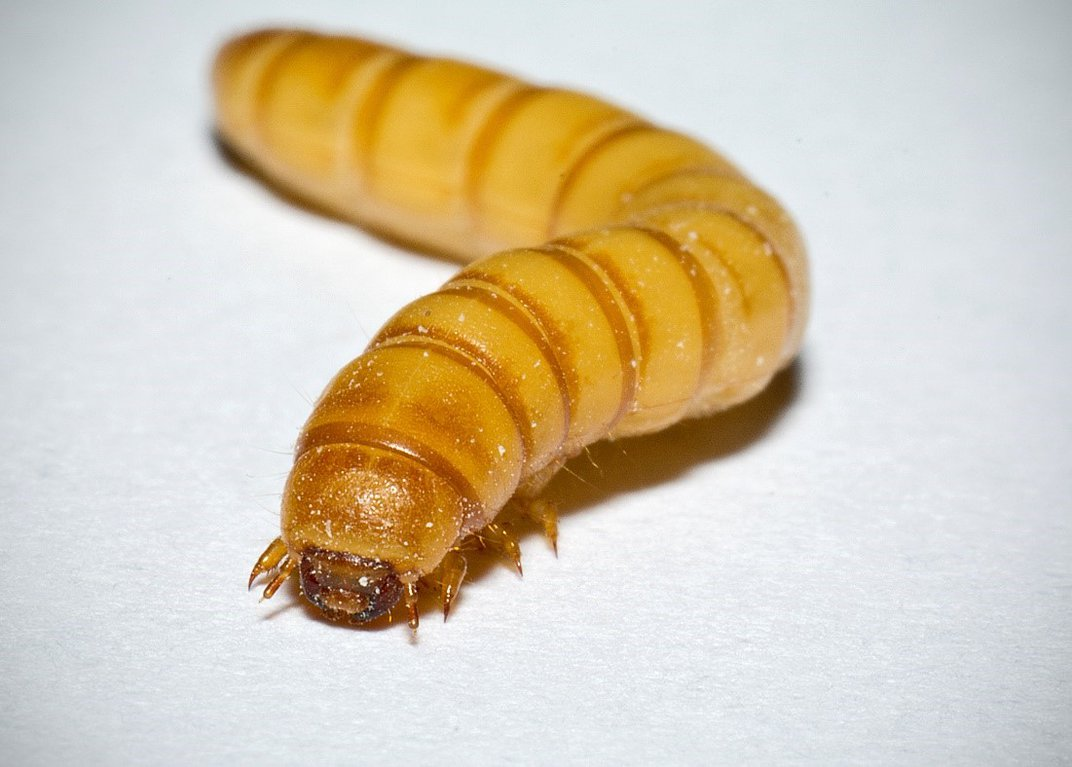 Tan mealworm larvae on white background