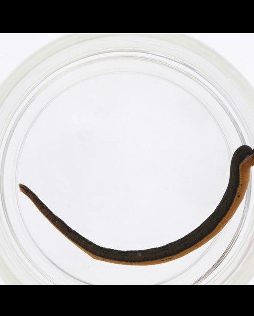 Brown and orange leech (Macrobdella mimicus) in a clear jar.