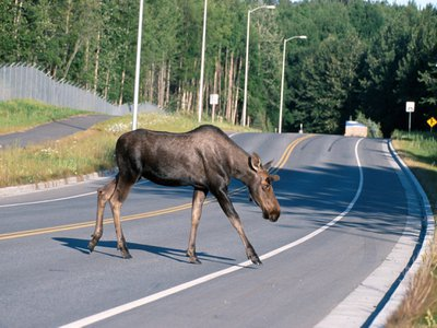 Most large wildlife fatalities caused by car crashes in Maine are deer and moose.