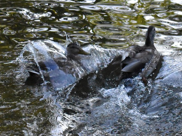 Water over a ducks back thumbnail