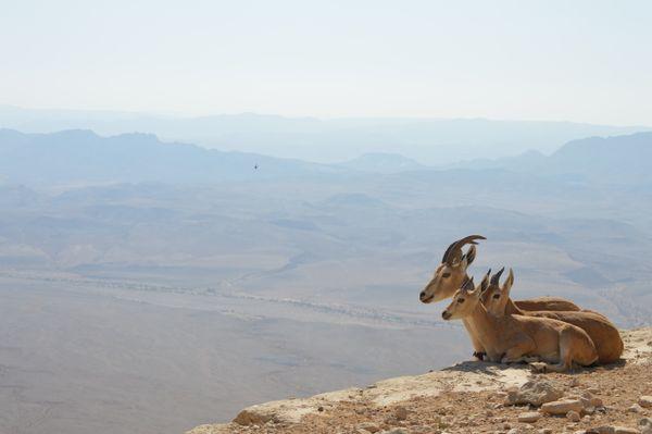Ibex family enjoying the view at Makhtesh Ramon thumbnail