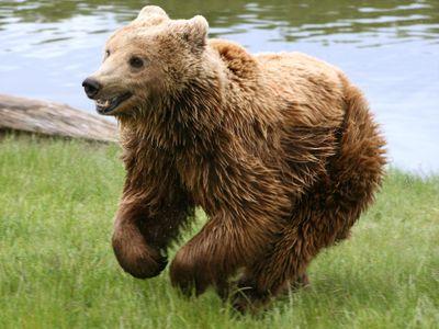 A captive Eurasian brown bear (Ursus arctos arctos) in Denmark.