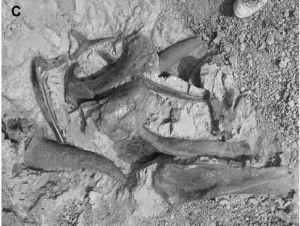 20110520083125triceratops-bonebed-jvp-300x226.jpg