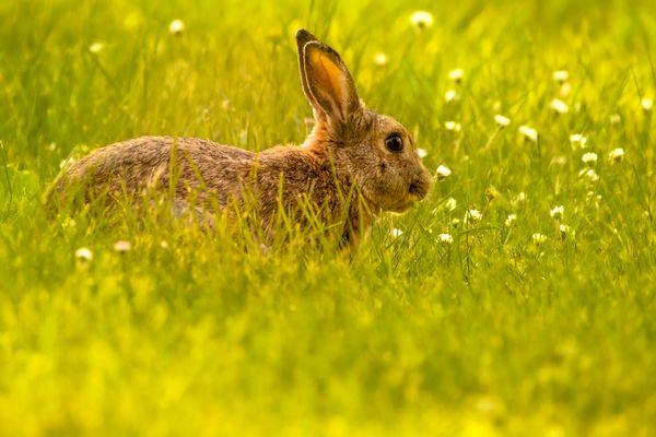 Spring Bunny thumbnail