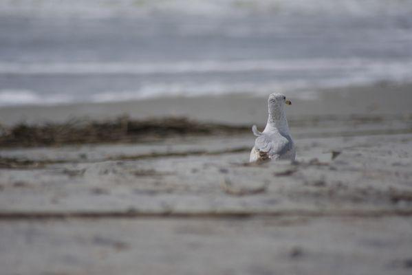 Seagull on the beach thumbnail