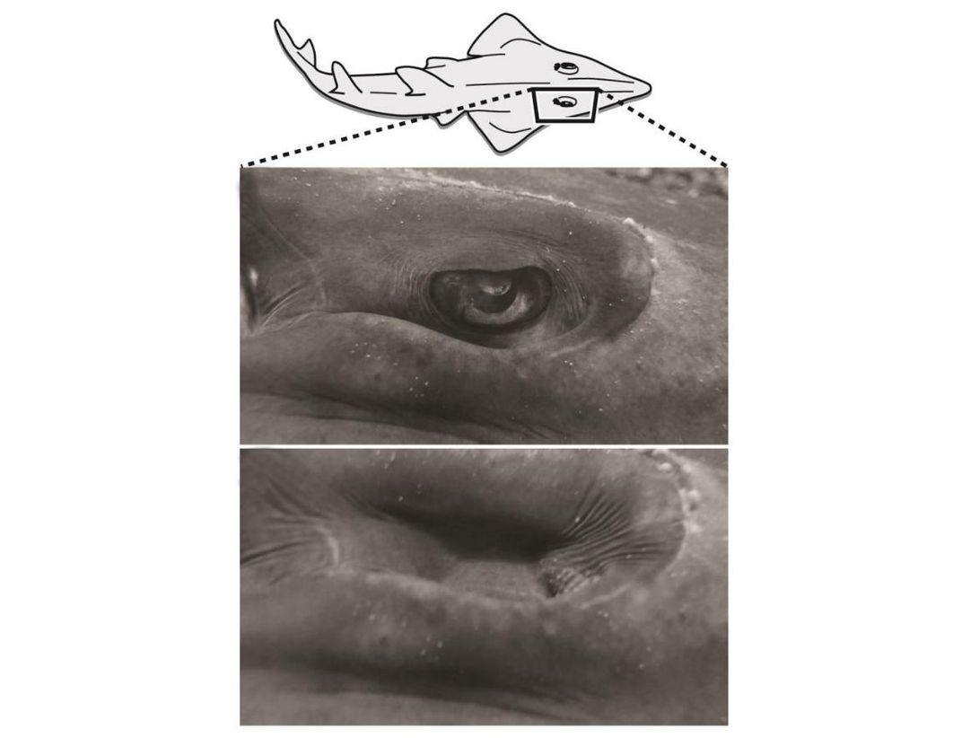 Instead of Eyelids, This Fish Retracts Its Eyeballs