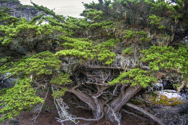 Cypress - Point Lobos, California thumbnail