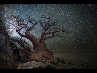 Lyra — A baobab in Botswana.
