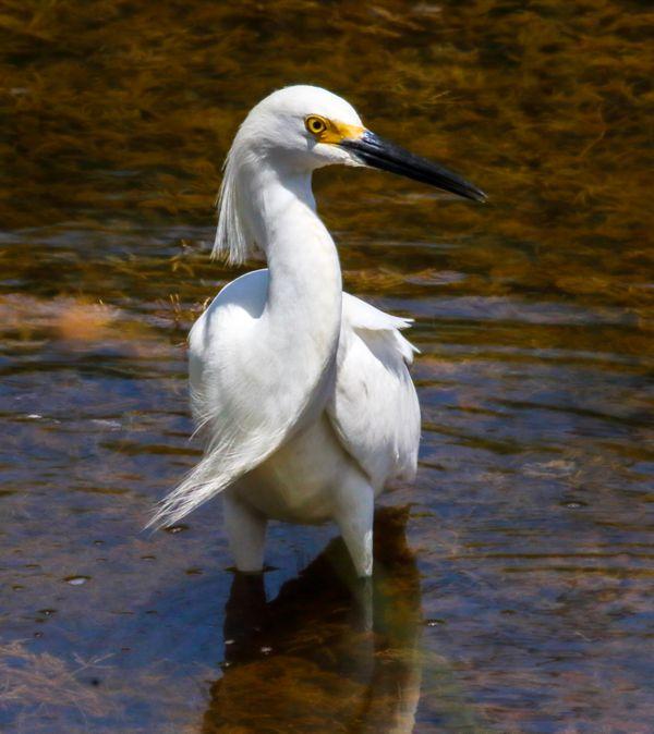 Great Egret thumbnail