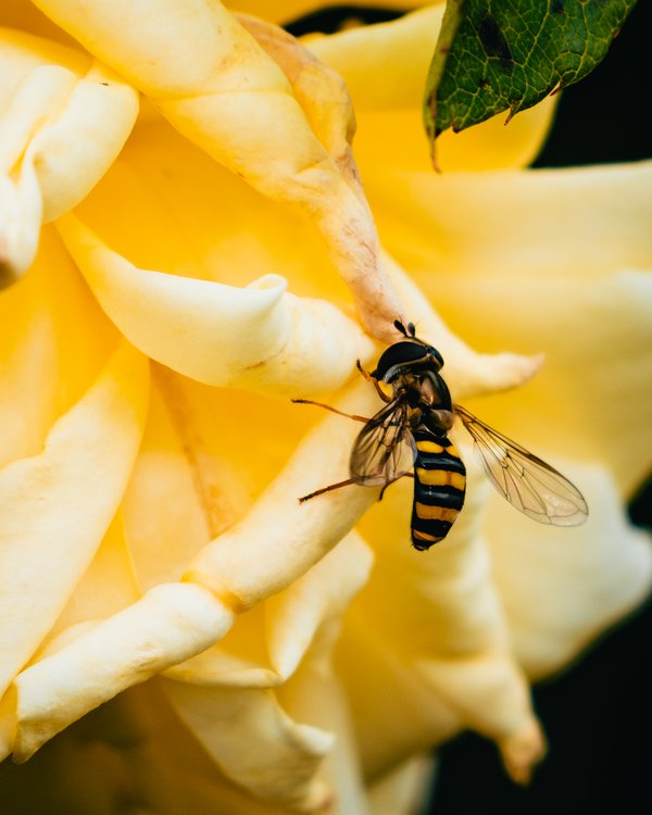 Resting Hoverfly thumbnail