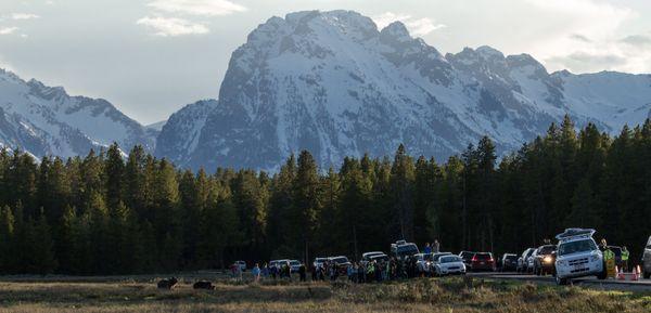 Bear Jam: Grizzly Bear jam in Grand Teton  thumbnail