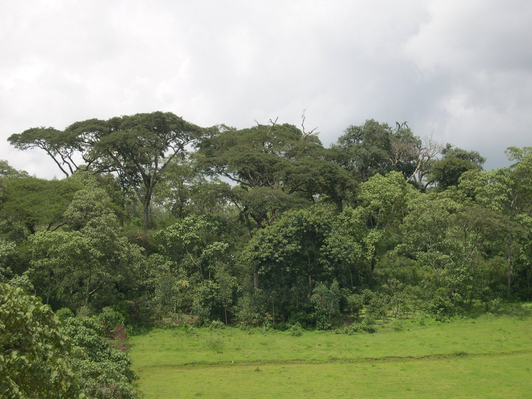 A shade coffee farm in Ethiopia with a section of grass surrounded by trees and shrubs of different heights