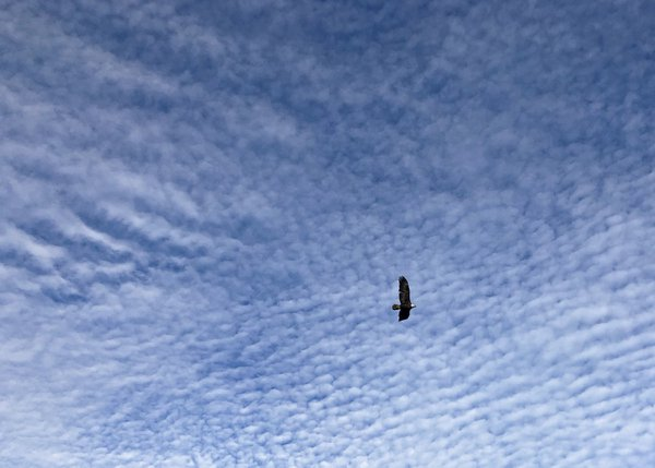 Eagle Gliding through Scalloped Clouds thumbnail